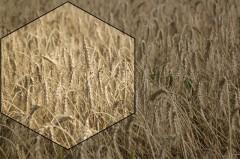 Пшеница сорт «ермак»