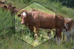 Коровы красно-пестрой породы