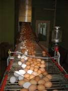 Яйца кур породы хайсекс уайт