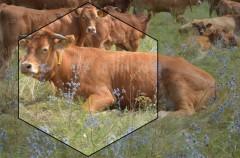 Коровы лимузинской породы