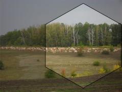 Коровы породы красно-пёстрая голштинская