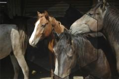 Лошади орловской рысистой породы