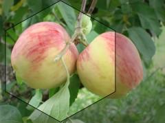 Яблоки  сорт «россошанское августовское»