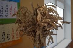 Пшеница сорт «дон-93»